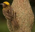 kbsi_Jenis-Burung-Manyar-Emas-Jambul-Tempua