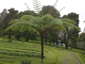 kbsi_pakishaji_Cycas_on_Indonesia