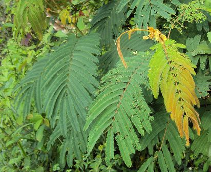 kamus_Albizia_chinensis_leaves_412_2336